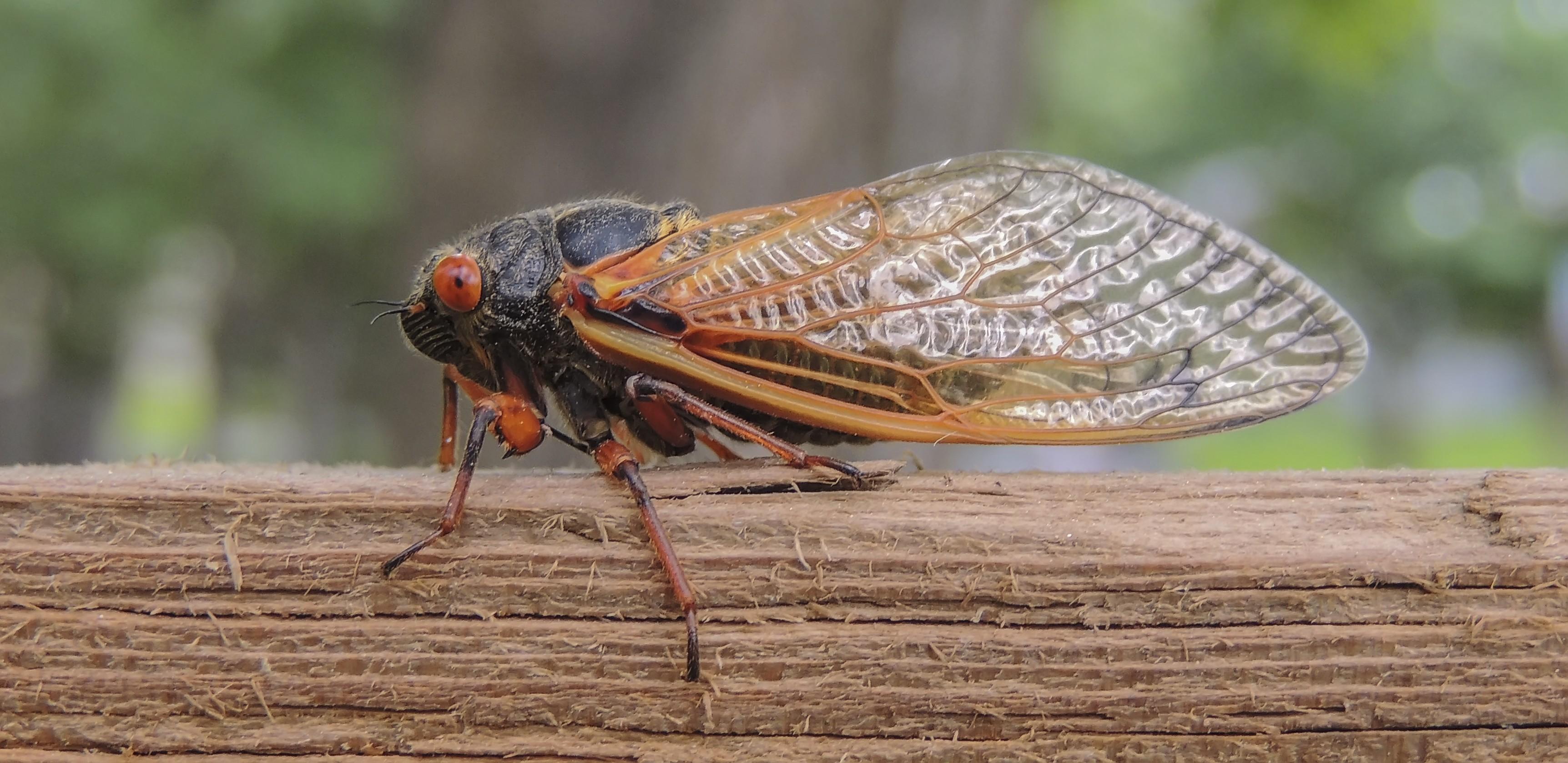 cassini periodical cicadas - photo #8